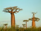 Baobab-Baum542d803507b0f