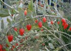 Goji-Busch-Lycium-barbarum-fruits
