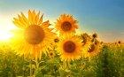 Sonnenblumen-Sommerferien